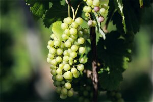 Wein-Produktion